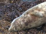 Harbour Seal Resting On Seaweed Covered Rocks Close-Up