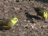 Yellowhammer In Field Feeding On Seeds