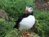 Puffin On Nesting Area In Shetlands
