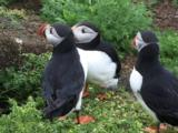 Puffins On Nesting Cliffs In Shetlands
