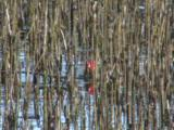 Coot Chick With Bright Red Head In Reeds