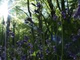 Bluebell Woodland With Sun Shining