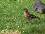 Chaffinch, Male, Hopping Over Grass