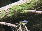 Grey Wagtail Resting On Branch