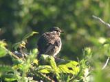 Stonechat Juvenile Resting And Preening In Bush