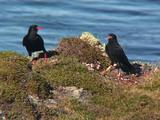 Chough Parent And Calling Juvenile Fledgling