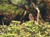 Dunnock Aka Hedge Sparrow Calling