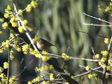 Goldcrest, Hunting Amongst Bushes