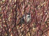 House Sparrow Resting In Bush