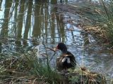 Moorhen Feeding In A Pond
