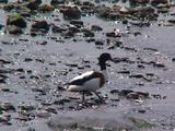 Shelduck Adult Pair Walking