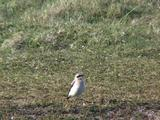 Wheatear Male Displaying, Passage Migrant To Greenland