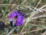 Six Spot Burnet Moth Pair Feeding On Knapweed