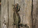 Common Lizard Basking On Log