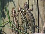 Common Lizards Basking On Log And One Falls Over