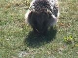 Hedgehog Walking Along Path