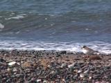 Ringed Plover Running On Shoreline