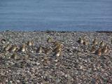 Golden Plover Group On Shingle Shore
