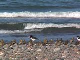 Golden Plover And Oystercatchers