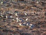 Sanderlings Feeding On Beach