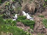 Fulmar Nest And Feeding Juveniles