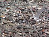 Arctic Tern Pair On Shingle Feeding A Chick