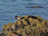 Redshank Pair On Rock