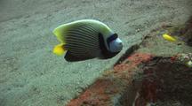Emperor Angel Fish Feeding