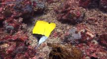 Big Long Nosed Butterfly Fish Feeding