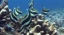 Penant Butterflyfish Schooling