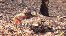 Fingered Dragonet Resting On Sand