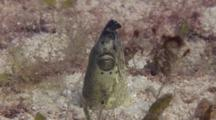 Black-Finned Snake Eel With Head Out Of Sand