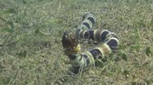 Napoleon Snake Eel Burrowing