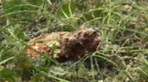 Reptilian Snake Eel Buried In Sand