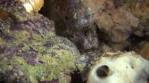 Pair Of Freckled Frog Fish On Reef