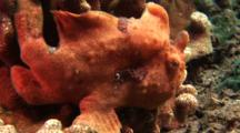 Red Painted Frog Fish Sitting On Pyrites Coral, Side View