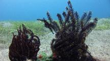 Pair Of Ornate Ghost Pipe Fish On Black Crinoid, Great Camouflage