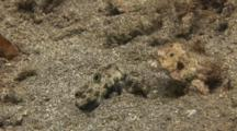 Signal Goby On Sand