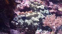 Pair Of Camouflage Groupers