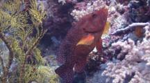 Coral Grouper Being Cleaned By Wrasse