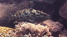 Camouflaged Grouper Wanting The Limelight