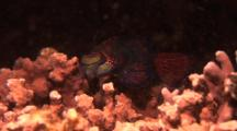 Mandarin Fish, Single Male Looking For Girls!