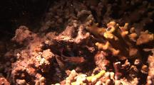 Mandarin Fish, Aborted Attempt At Mating