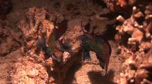 Mandarin Fish, Pair Of Males Contesting Territory