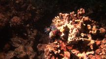 Mandarin Fish, Pair Mating