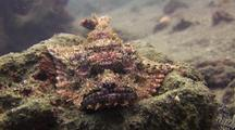 Poss's Scorpion Fish Sitting On Rock
