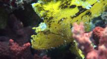 Yellow Leaf Scorpion Fish