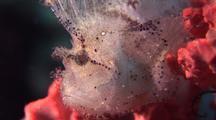White Leaf Scorpion Fish