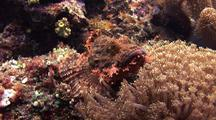 Poss's Scorpion Fish Resting On Coral