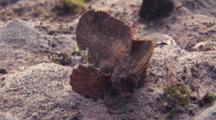 Cockatoo Waspfish Rests On Sand Bottom, Like Leaf